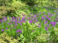 May Irises follow April Cherry Blossoms